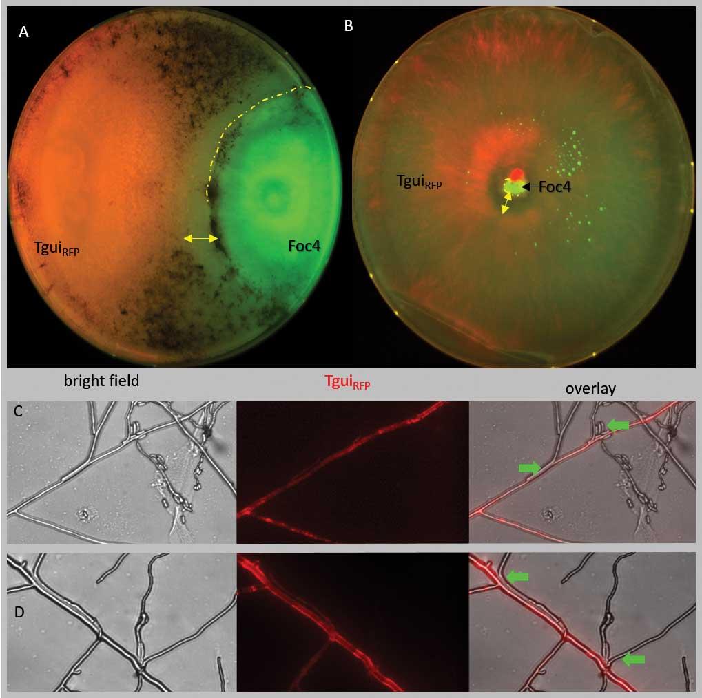 Trichoderma - Fusarium interaction
