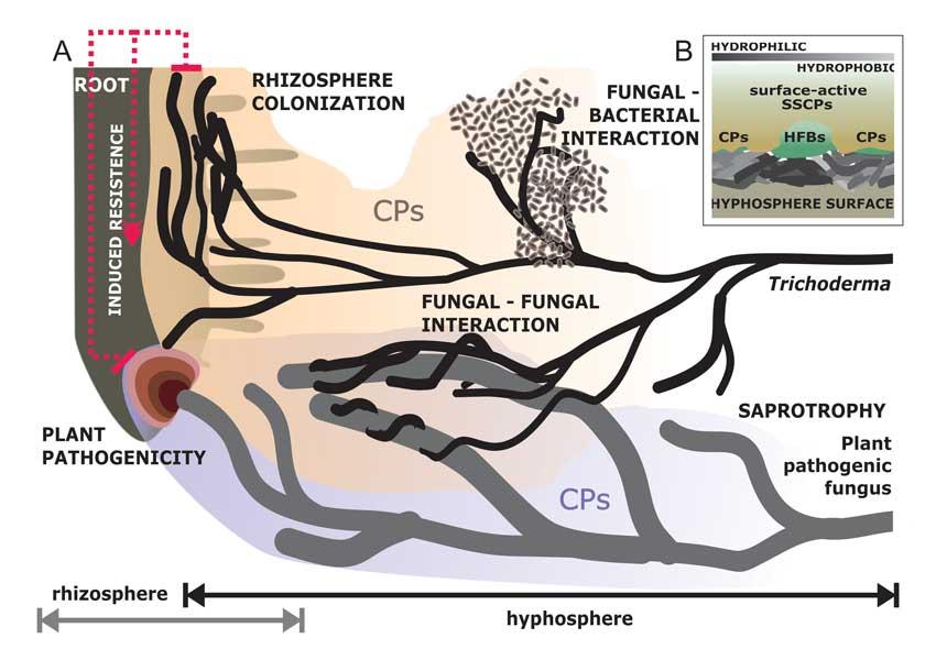 Cerato-platanins in hyphosphere