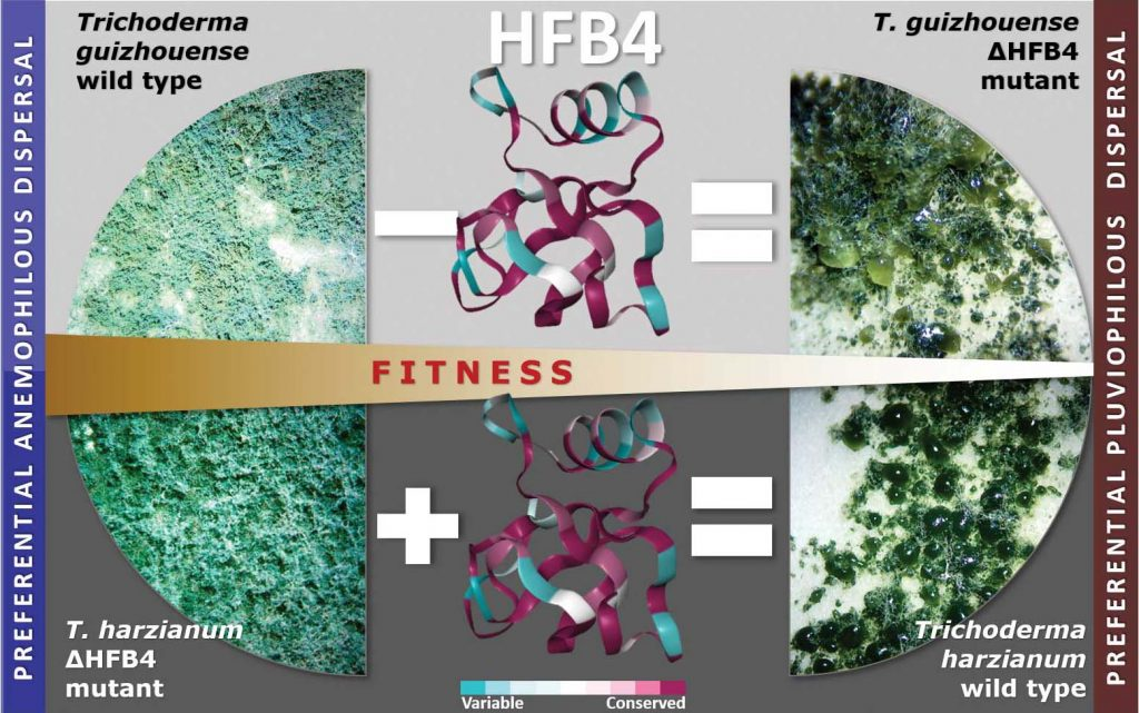 The role of HFB4 in Trichoderma fitness