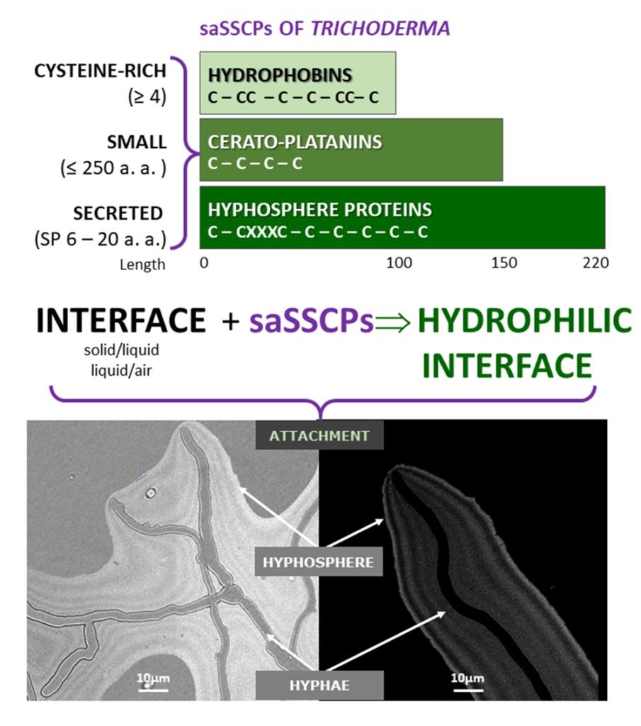 Zhao et al., 2021 Hyphosphere concept